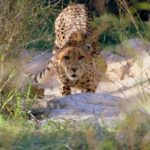 Wild cheetah population is estimated to be 7,500 world-wide
