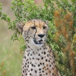 A cheetah does not avoid water