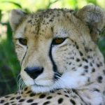 Population of cheetah is estimated to be 7,500 globally