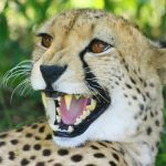 The population of cheetah is estimated to be 7,500 world-wide