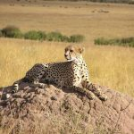 The cheetahs don't avoid water