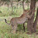 The last significant population of cheetahs remain in Southern and East Africa