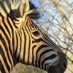 Equus zebra zebra is the scientific name of Cape Mountain zebra