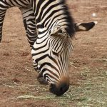 Horse is a closest relative to zebra