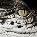 American crocodiles are olive-green or gray-green