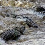 The African crocodile is said to kill hundreds every year in Kenya but the figures are not available because the incidents go unreported