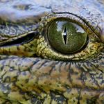 Crocodile meat is in high demand from China