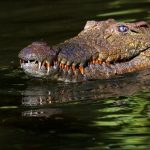 Crocodile meat is in high demand from China and the restaurants of upmarket tourist hotels in Nairobi