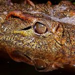 Crocodile meat is in high demand from the restaurants of upmarket tourist hotels in Nairobi