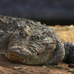 In China, crocodile meat is very popular