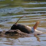 Crocodile farming has its challenges