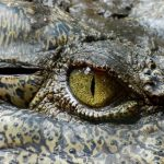 In Kenya there are 21 crocodile farmers but 60 more have applied for the required licences