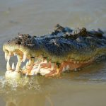 A Nile crocodile's main diet is fish but it can attack anything that crosses its path