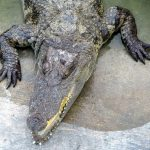 Nile crocodile meat is said to taste delicious