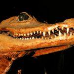 Crocodiles in America are called Crocodylus acutus