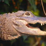 Collins Mueke's crocodile farm is in eastern Kenya