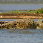 Crocodile farming is dangerous, but lucrative