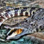 In the wild attacks on humans by crocodiles are commonplace but the figures are not available