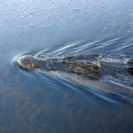 Crocodiles in American are well-armored with scaly and tough, skin