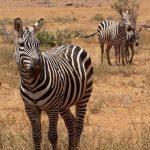 The mountain zebra and the plains zebra belong to the subgenus Hippotigris