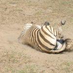 Zebra belongs to Equidae family