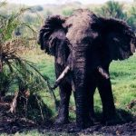 Female elephants stay with the same herd all its life while the males remain with the herd only until the age of 12-13