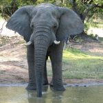 The male elephants only remain with the herd until the age of 12-13 after which they join a group of other males