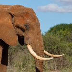 The male elephant remains with the herd until the age of 12-13 after which it joins a group of other males