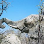 Male elephants remain with the herd until the age of 12-13 after which it joins a group of other males