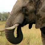 A Kenyan elephant is extremely long-lived surviving to 60 to 70 years