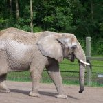 The male elephant remains with the herd until the age of 12-13 after which it joins a group of other males known as a bachelor herd