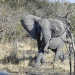 The male elephants only remain with the herd until the age of 12-13 after which they join a group of other males known as a bachelor herd or lives alone
