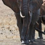 Between the years 70s and 90s thousands of elephants were killed