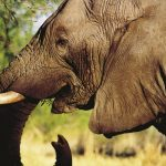 Thousands of elephants were killed between the years 70s and 90s for their ivory