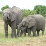 Many thousands of elephants were killed between the years 70s and 90s leaving the African elephant populations at a number of 300,000–600,000