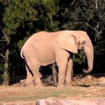 Threat to eastern African elephant populations is increasing