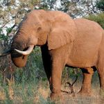 Threat to the African elephant populations in Eastern Africa is increasing