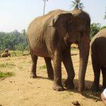 Elephant poaching is rising