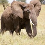 Tusks are enormous front teeth of elephant