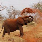 Male elephants often live longer