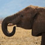 The tusks are enormous front teeth of elephants that keep growing