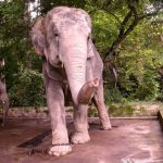 The male elephants often live longer