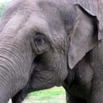 Tusks of elephants are used to dig for roots