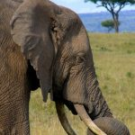 The tusks of the elephant is used to dig for roots