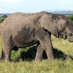 Tusks of the elephant is used to dig for roots
