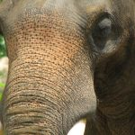 The tusks of elephant is used to dig for roots