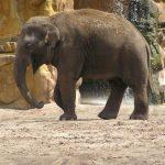The male elephant often lives longer