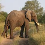 Scientists reckon that the elephants prefer their left or right tusk just like we do our left or right hand