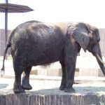 An elephant is extremely long-lived