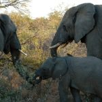Elephants are capable of strong emotions